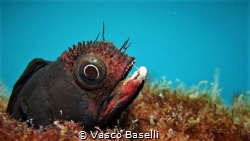 Blenny at Islote El Pelado, Guayas, Ecuador by Vasco Baselli